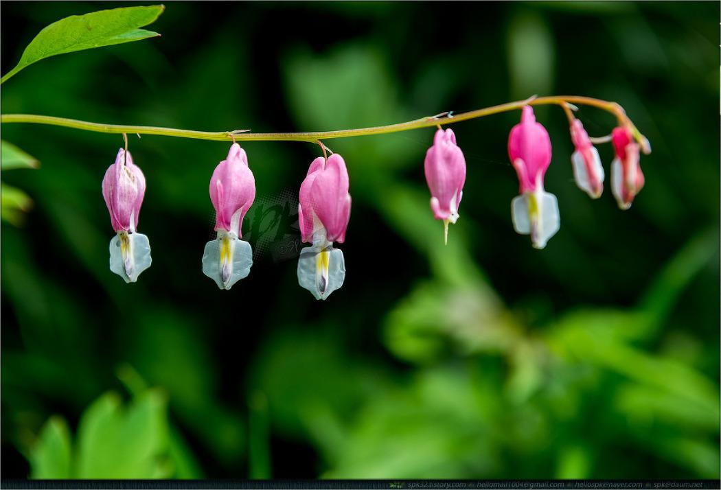 꽃 - 80 (가자니아, 금낭화, 알리움, 작약)