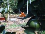 [한라봉 / 하우스감귤] 강씨네 미깡농장 지키미