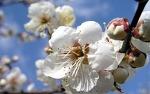 광양매화축제, 전남 광양 매화마을에서 펼쳐지는 봄꽃축제