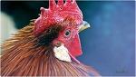 붉은 닭해에 담은 닭사진