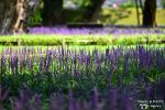 보라빛 고운 꽃들의 물결, 성주 성밖숲 맥문동