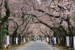 야나카령원 (谷中霊園) 벚꽃