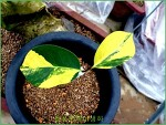 동백나무 무늬종 - 청풍분재야생화에 전시된 멋진풍경들 '두번째'