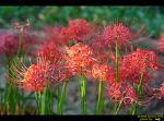 금련산의 꽃무릇들