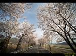 물금역의 벚꽃길