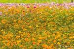 함양 상림공원, 가을인가? 조금 이르게 즐긴 코스모스들의 축제