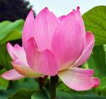 [야생화] 진흙 속에서도 아름답게 피어나는 꽃, 연꽃 재배방법/청정함과 극락세계를 상징하는 꽃, 연꽃/연꽃 꽃말은 순결, 군자, 신성, 청정/연꽃 재배법/3천년 세월을 보낸다는 연꽃씨앗