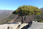 팔공산 인봉 소나무