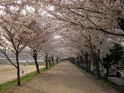 [사진]금호강 벚꽃놀이