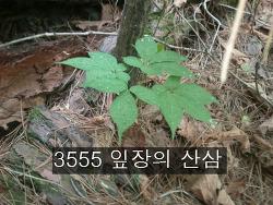 3555 잎장의 산삼 사진 기록