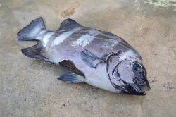 비싼 생선 4대돔 알고 먹자