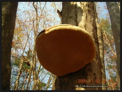 미선님 갑에 좋은 말굽버섯입니다 몇해전 찍어둔 사진 올려 들립니다
