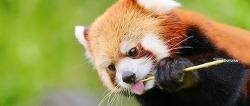 """""""레서 판다""""를 만나다. Lesser Panda 시푸^^"""