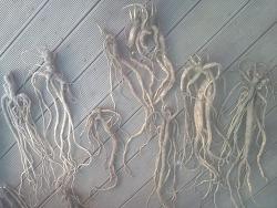장생도라지 (산원초)