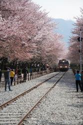 군항제 끝무렵에 방문해도 괜찮을까? 작년 진해 군항제 벚꽃 축제 마지막 날 여좌천, 경화역의 풍경