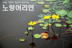 제주에서 처음 보았던 희귀 연꽃, 노랑어리연