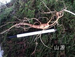 자연야생3대삼으로 소견한 산삼 기록 사진