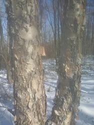 자작나무 와 마가목나무 의 비교 사진 (산원초)