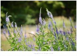 꼬리풀(가는잎꼬리풀) 효능 - 감기.기침.천식.기관지염.신경통.중풍.편두통/약용식물/산야초