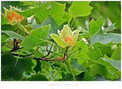 [5월 노란꽃나무] 백합나무(튤립나무)꽃 이야기