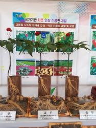 충남 농업기술원 인삼 신품종 전시 금선, 금진, 금원