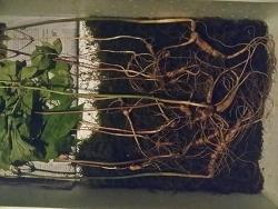 희귀성 산삼의 기록들 (산원초)