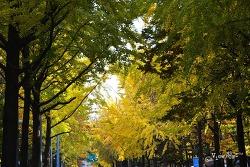 서울 단풍아름다운 곳 - 목동 아파트단지길 은행나무터널