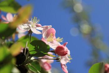 벚꽃이 지고나면 ㅡ 꽃사과꽃
