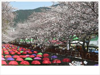 연분홍 벚꽃...♥♡♥