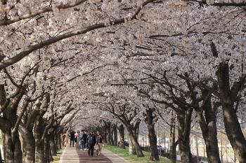 [부산벚꽃명소]완벽한 벚꽃터널이 예쁜 강서구 맥도생태공원 벚꽃