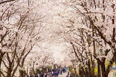 올봄, 가볼 만한 춘천 벚꽃 드라이브 나들이 코스