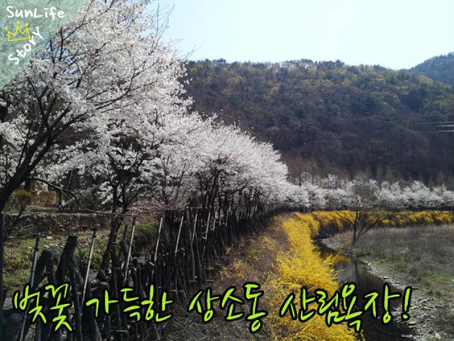 [대전 벚꽃놀이 갈만한 곳] 벚꽃가득 품은 상소동 산림욕장!