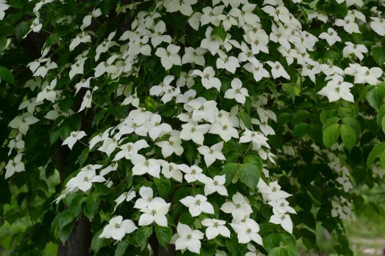 하얀 꽃이 장관인 '산딸나무'