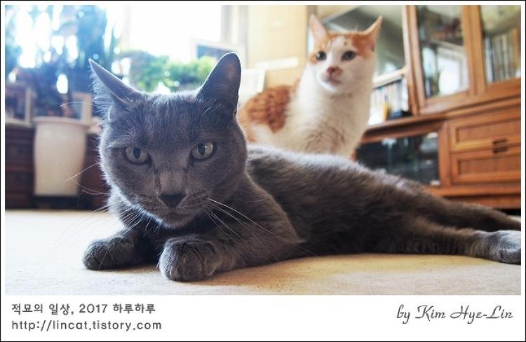 [적묘의 고양이]간식과 함께 비둘기 코스프레 중인 노묘 3종세트,나눔인증