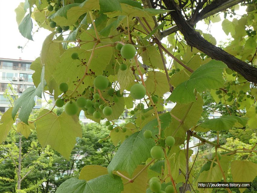열매가 익어가는 동네공원, 버찌,꽃사과, 은행, 산수유, 모과, 포도, 산사나무열매, 박태기나무열매