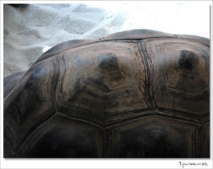 세이셸공화국 알다브라 육지거북이 등껍질