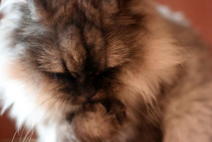 고양이 그루밍, 그루밍, 고양이 몸단장, 고양이 냄새, 고양이 앞발, 고양이 앞발 사용, 고양이 기르기, 고양이 이야기, 반려동물 고양이, 고양이, 페르시안 고양이, 페르시안 친칠라, 친칠라 고양이, 리뷰, 이슈, 사진, 고양이 사진