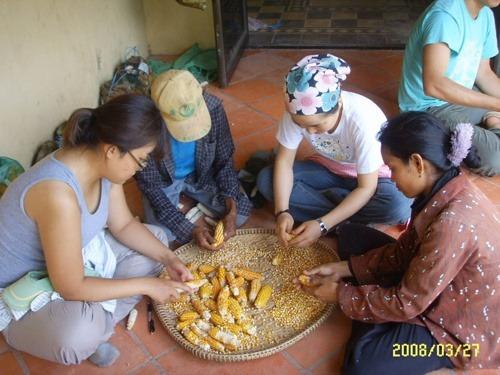 캄보디아 옥수수 탈곡작업