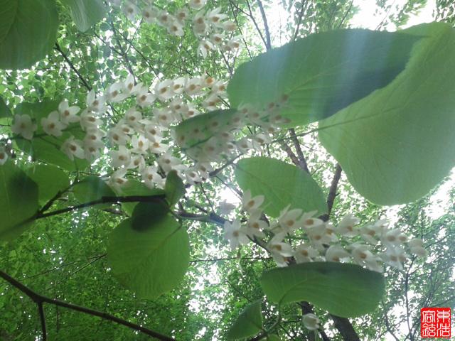 아카시아꽃