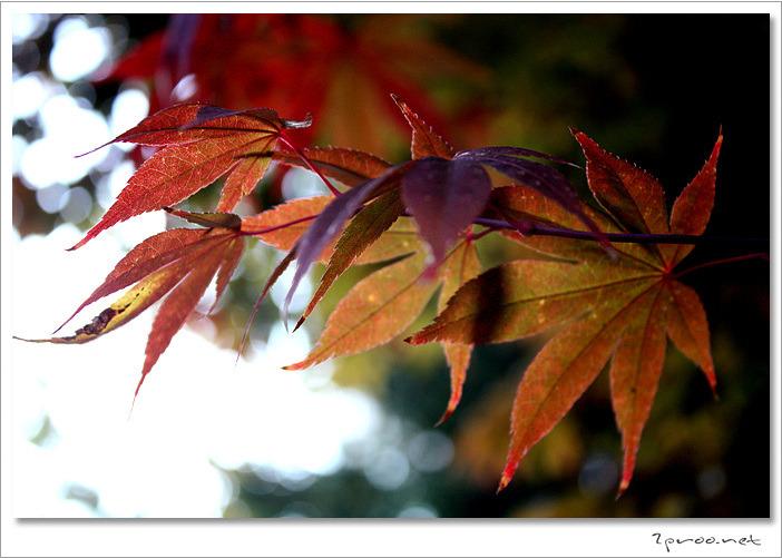 가을, 가을사진, 가을풍경, 가을풍경사진, 낙엽사진, 바탕화면풍경사진, 사진, 일상·생각, 잠자리사진, 출사, 풍경, 풍경사진, 단풍사진, 단풍나무사진, 국화, 국화꽃, 국화꽃사진, 2proo, 국화꽃 사진, 가을 단풍, 가을 단풍사진, 단풍잎,