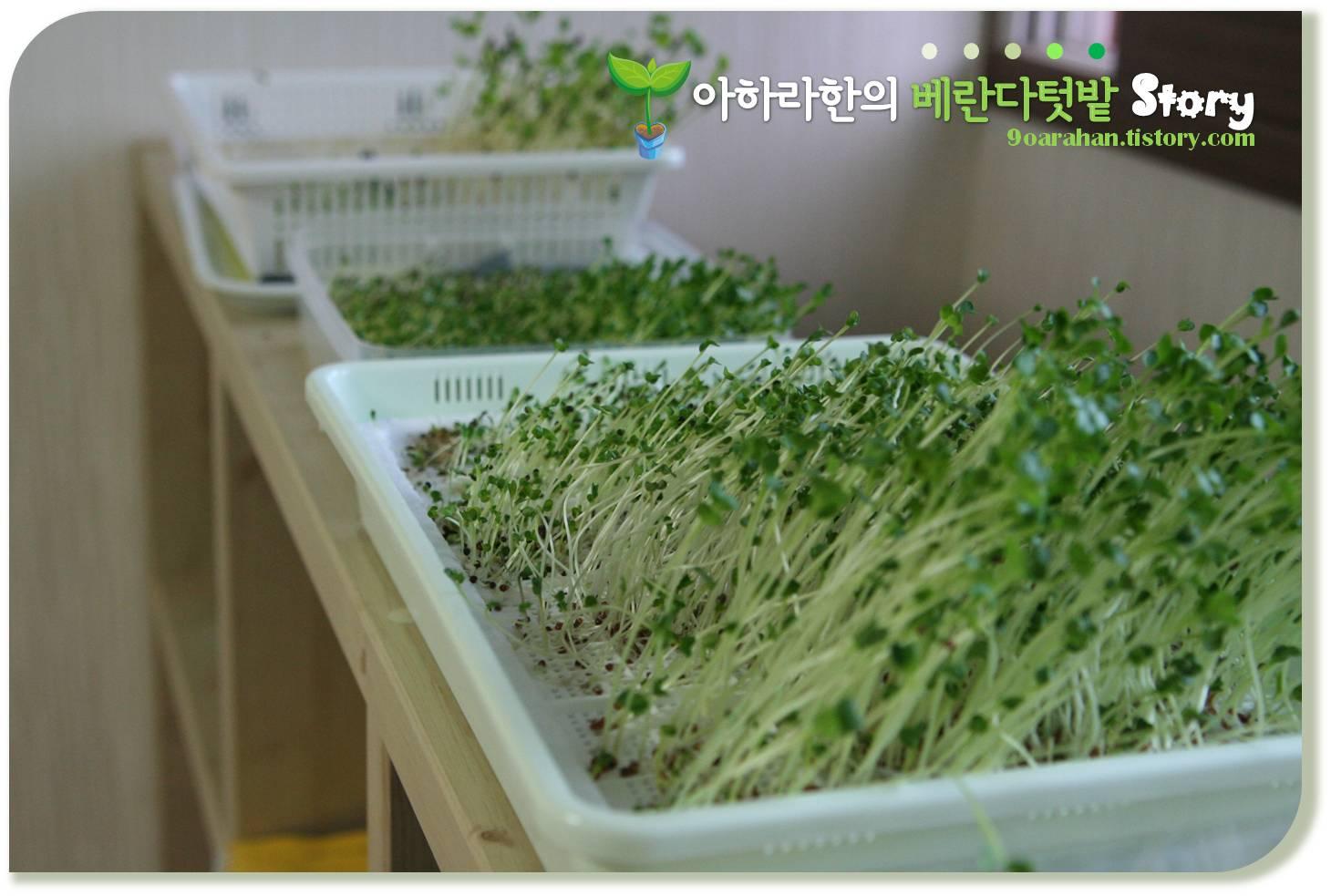 [새싹채소기르기] 새싹채소기르기 재배일기 새싹채소 수확이 눈앞...
