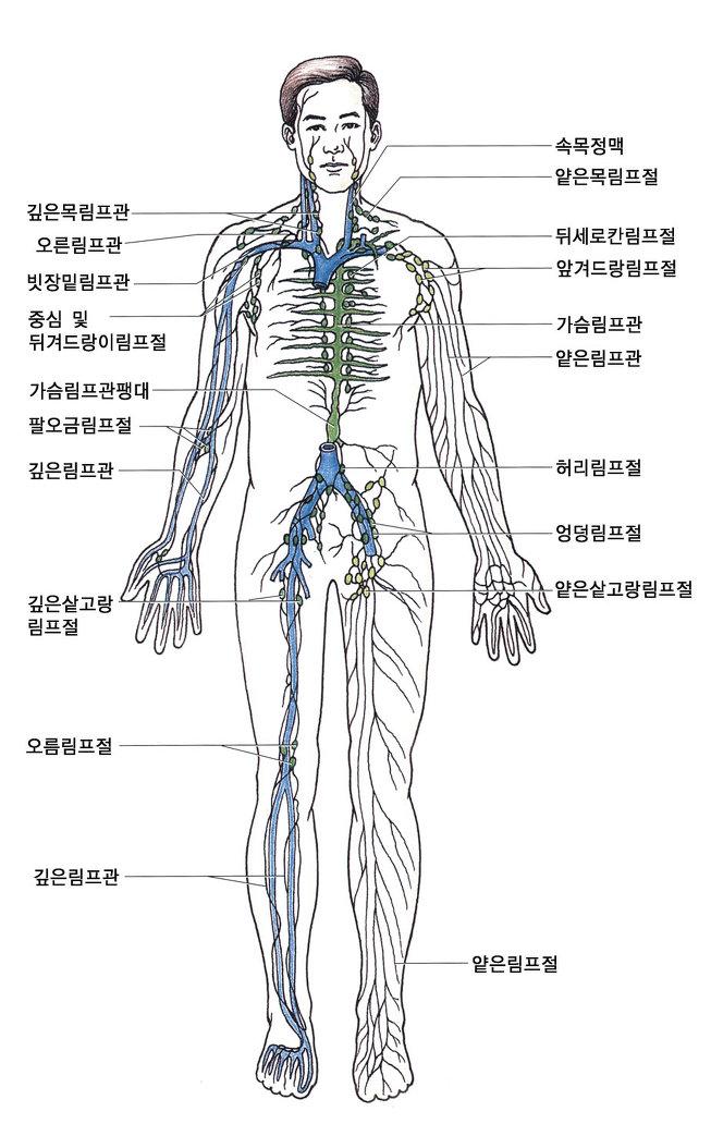 림프절과 림프마사지