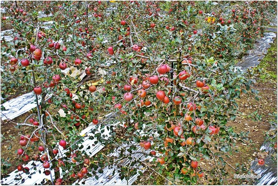 잘 익은 사과밭