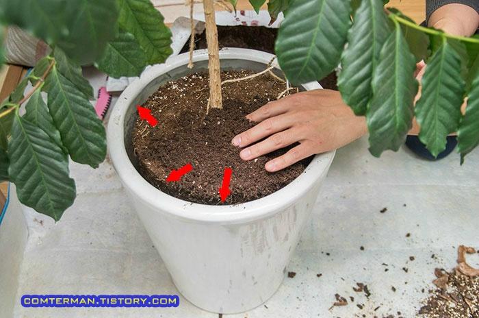 커피나무 분갈이 뿌리