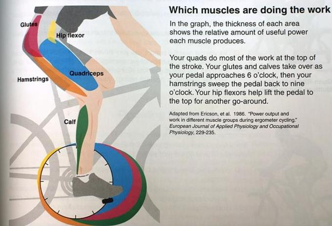 자전거 운동 효과, 자전거 근육,