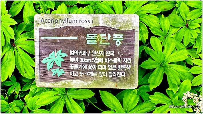 돌단풍 Aceriphyllum rossii Flower