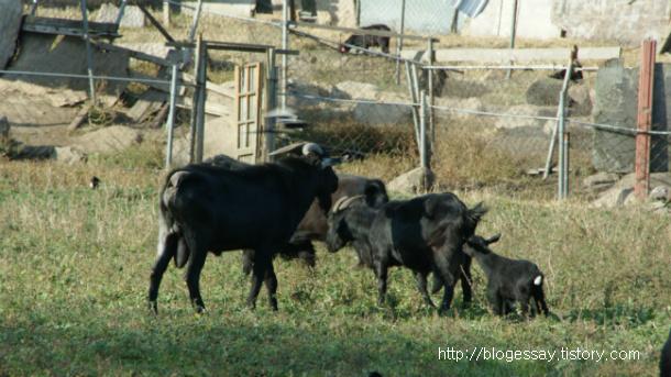 흑염소 살찌는 도시의 시골 산성마을::OmnisLog
