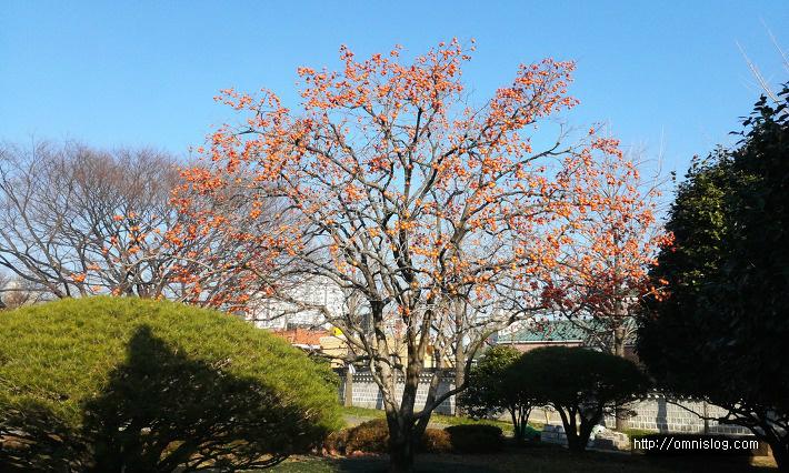 한겨울의 충열사 감나무