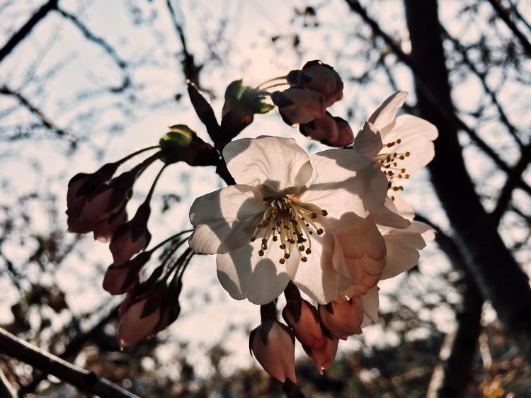 벚꽃인트로