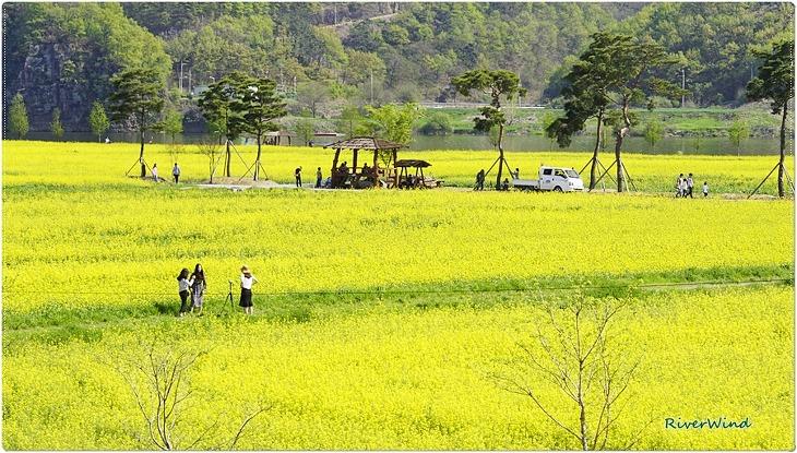 남지 유채꽃 축제